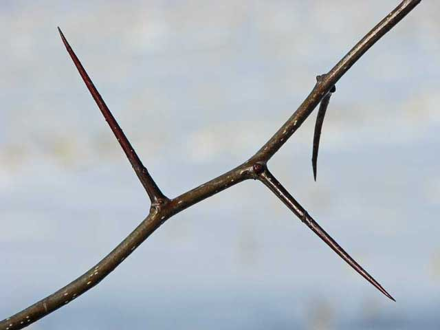 Hawthorn Tree Thorns Hawthorn Tree Thorns Hawthorn
